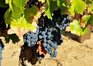 Leuke druiven weetjes: de Grenache druif