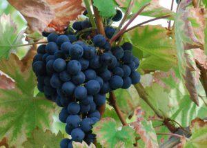 leuke druiven weetjes: mourvèdre druif